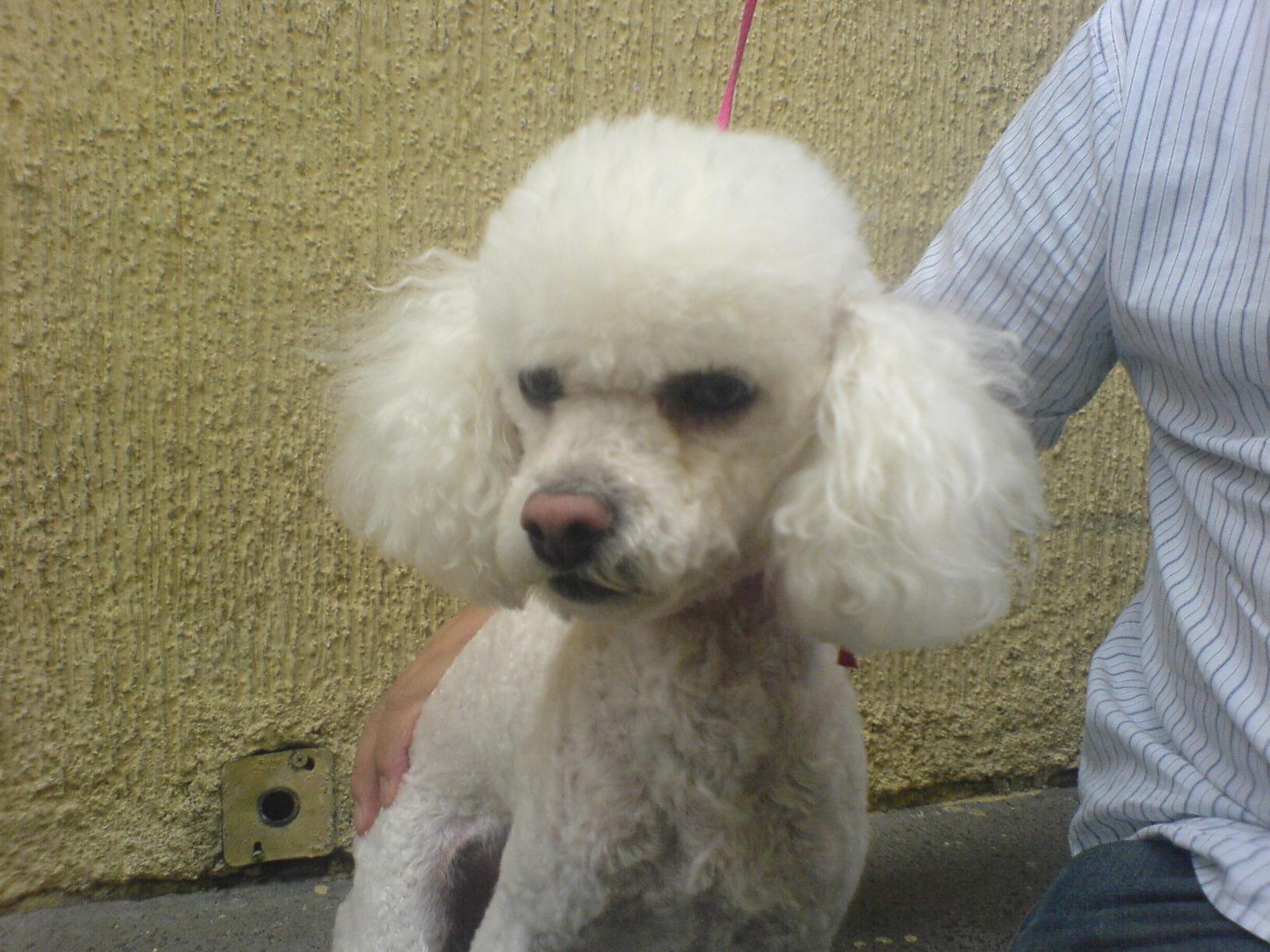Perro french poodle Macho en adopción en México, D.F., Distrito ...
