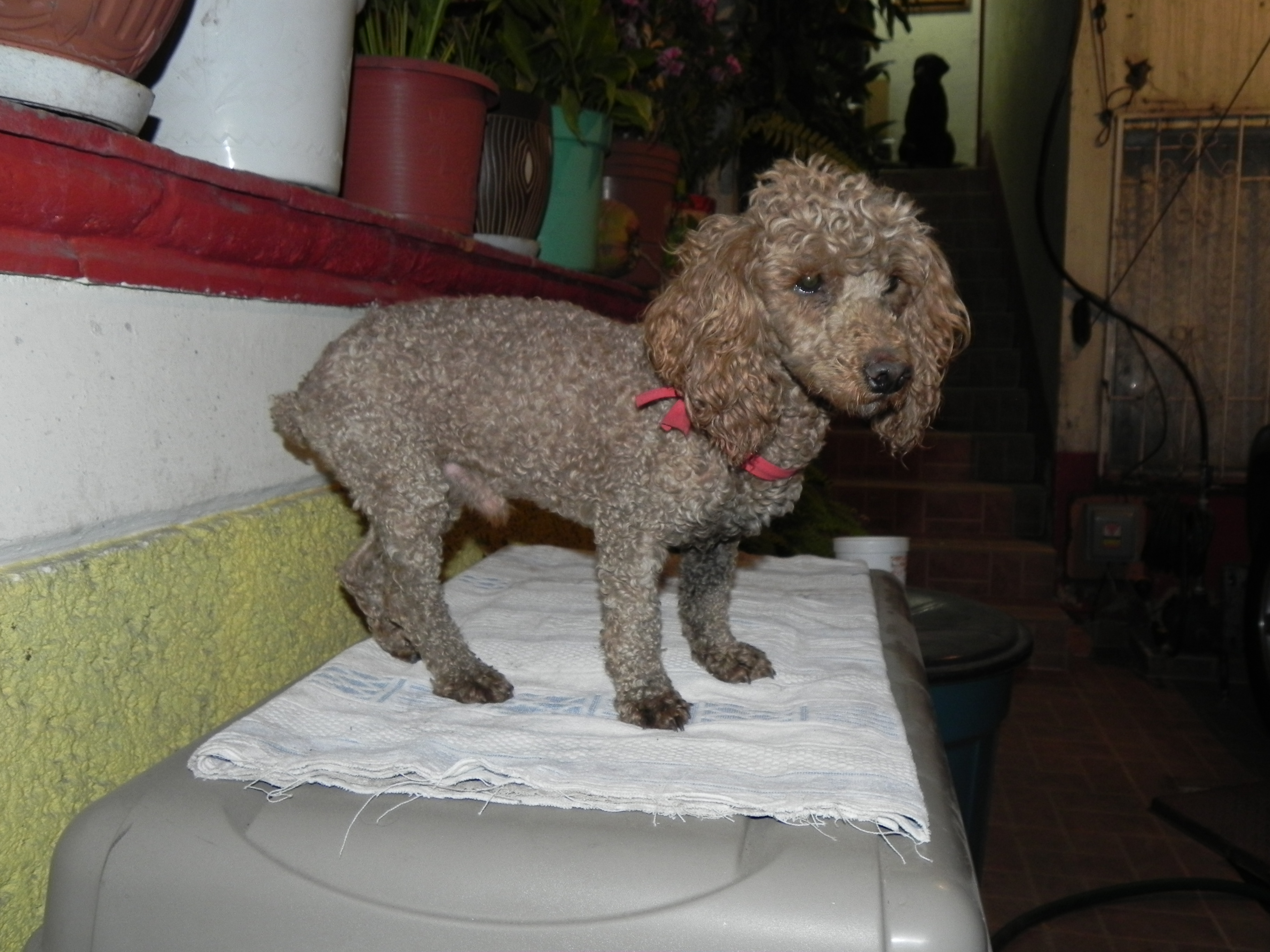 Perro French poodle caf�