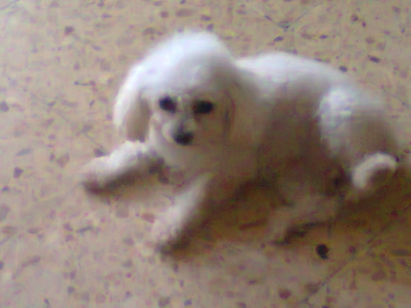 Perro French Mini Toy Blanco